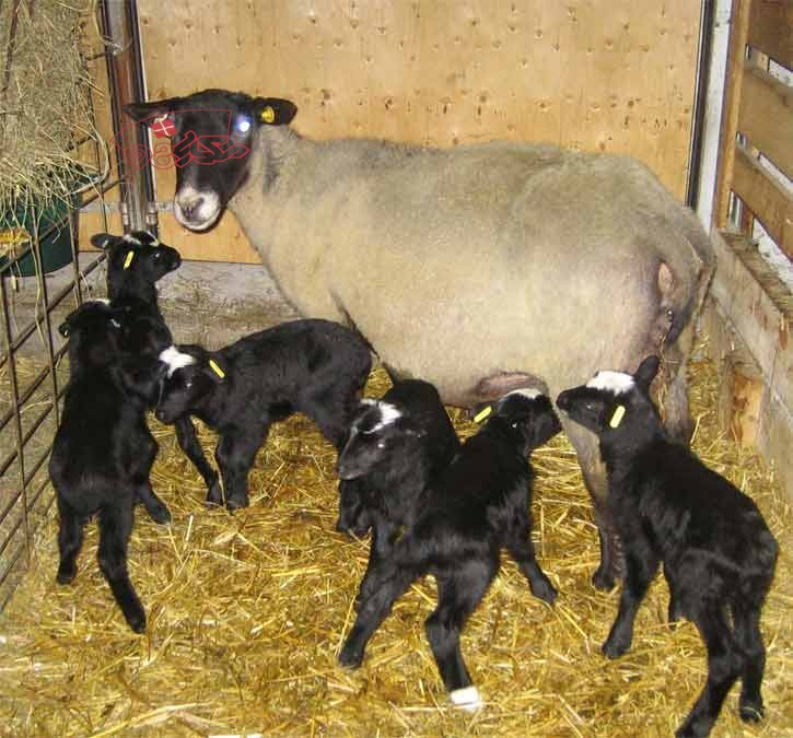 گوسفند چندقلوزا