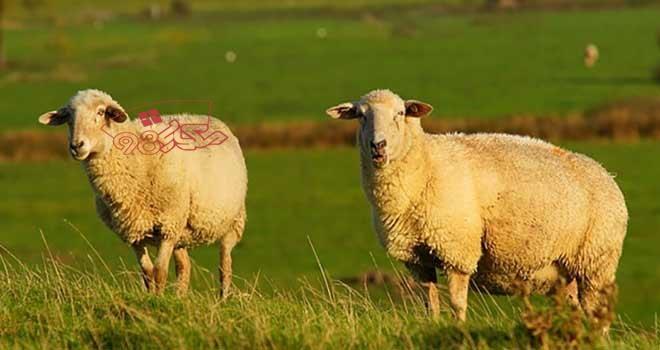 گوسفند زنده را از اینترنت خریداری کنید