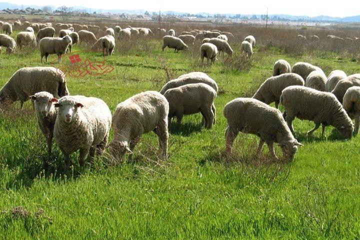 قیمت روز گوسفند زنده در تهران و کرج