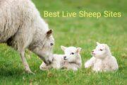 سایت خرید و فروش گوسفند زنده