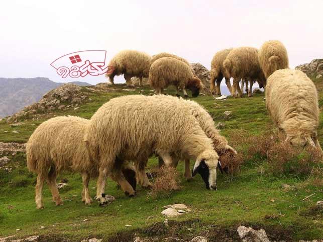خرید گوسفند در عید قربان