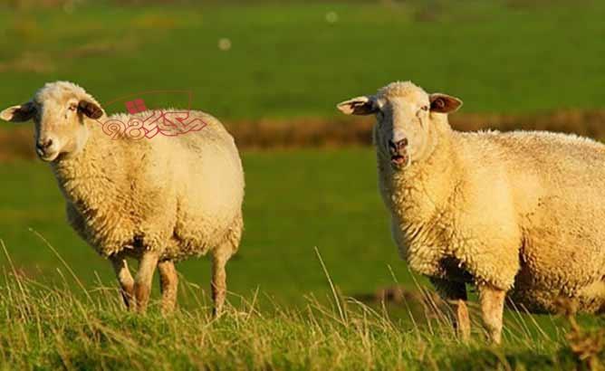 قربانی کردن گوسفند در عید قربان