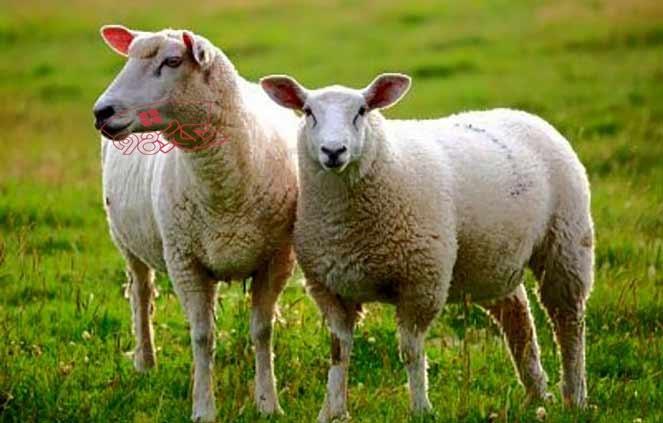 قیمت گوسفند برای عید قربانی در سال 1400